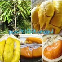 Paket 3 bibit buah durian musangking-tembaga-montong merah super
