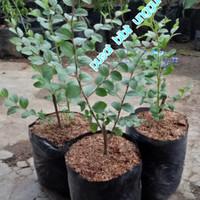 Bibit bidara arab super tanaman yg di takuti jin