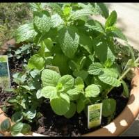 Produk Termurah Biji Benih Bibit Daun Mint Herbal Import Uk Inggris