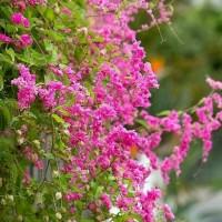 tanaman rambat - hias pagar - tanaman air mata pengantin