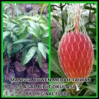 List Real Picture Bibit Mangga Yuwen Pohon Mangga Bibit Buah Mangga Yu