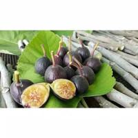 Bibit tanaman Bibit buah tin iraqi Terlaris