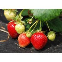 Bibit Benih Buah Strawberry jumbo California Siap Berbuah