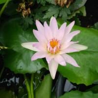 Tanaman bunga teratai