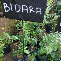bibit bidara arab/sidr tanaman yg ditakuti makhluk halus( obat herbal)
