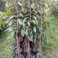 Bibit tanaman buah Durian BAWOR kaki 4.. , 1 meter, spesial jumbo....
