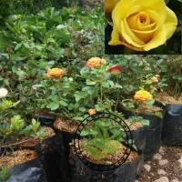 bibit pohon mawar kuning/tanaman hias bunga mawar kuning