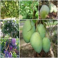 Promo 5 paket bibit Mangga Indramayu, Kiyojay, Madu, Erwin, Chokanan