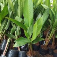 Tanaman hias pisang helicornia - pisang bali heliconia