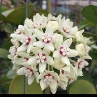 tanaman hias hoya putih siap bunga