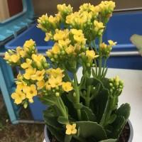 Tanaman hias Cocor Bebek Bunga Kuning - Kalanchoe Blossfeldiana Yellow
