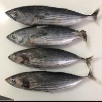 Ikan Cakalang Segar Beku