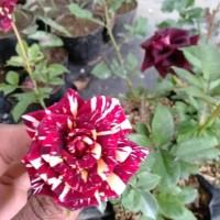 Bibit Tanaman Bunga Hias Mawar