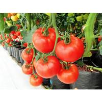 Bibit / benih tomat bibit sayuran ekonomis