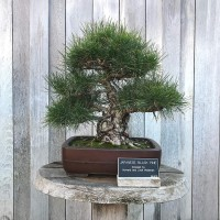 Benih Biji Pohon Japanese Black Pine Cocok Untuk Bonsai Seed