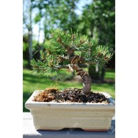 Benih Biji Pohon Mugo Pine Cocok Untuk Bonsai Seed
