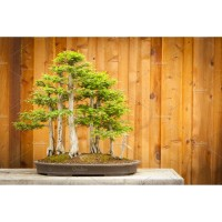 Benih Biji Pohon Bald Cypress Cocok Untuk Bonsai Seed