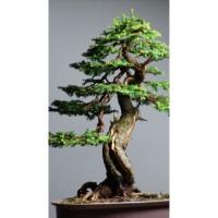 Benih Biji Pohon Norway Spruce Cocok Untuk Bonsai