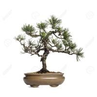 Benih Biji Pohon Scots Pine Cocok Untuk Bonsai Seed