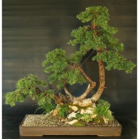 Benih Biji Pohon Tamarack Eastern Larch Cantik Untuk Bonsai