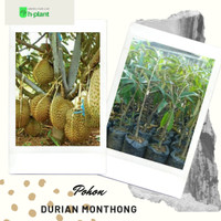 bibit pohon durian monthong/durian montong