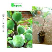 Bibit pohon tin green yordan/pohon ara