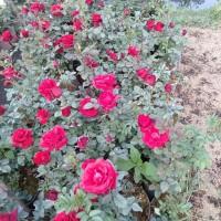 bunga tanaman mawar/rose big size jumbo. red