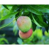 bibit buah mangga agrimania