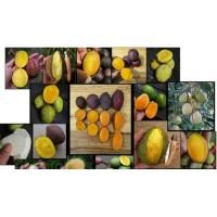 bibit buah mangga kasturi