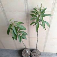 Bibit tanaman buah mangga alpukat kondisi berbunga