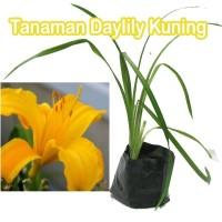 Tanaman Daylily Kuning