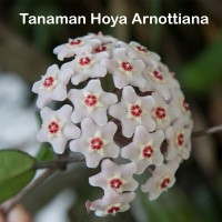 Tanaman Hoya Arnottiana