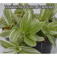 Tanaman Tradescantia Fluminensis