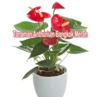 Tanaman Anthurium Bangkok Merah