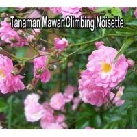 Tanaman Mawar Climbing Noisette Pink