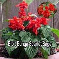 Bibit Bunga Scarlet Sage