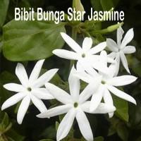 Bibit Bunga Star Jasmine