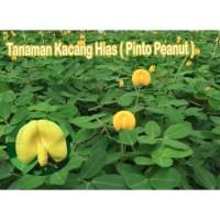 Tanaman Kacang Hias Pinto Peanut
