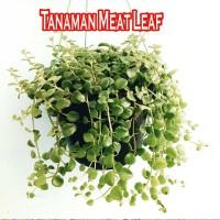 Tanaman Meat Leaf