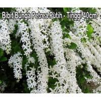 Bibit Bunga Petrea Putih - Tinggi 40cm