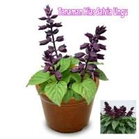 Tanaman Hias Salvia Ungu