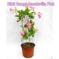 Bibit Bunga Mandevilla Pink