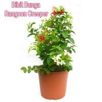 Bibit Bunga Rangoon Creeper