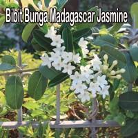 Bibit Bunga Madagascar Jasmine