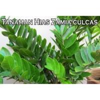 Tanaman Hias Zamia Culcas