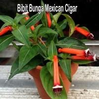Bibit Bunga Mexican Cigar