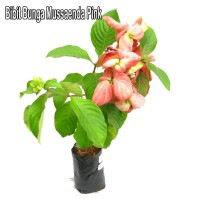 Bibit Bunga Mussaenda Pink