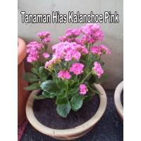 Tanaman Hias Kalanchoe Pink