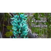 Tanaman Jade Vine