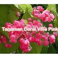 Tanaman Coral Vine Pink